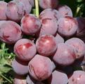 Статьи о винограде.