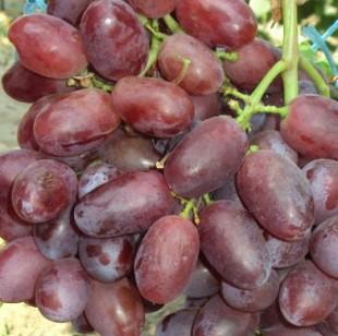Комплексная защита виноградников.