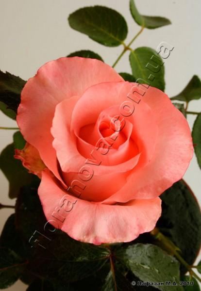 фото чайно-гибридной розы сорт Ленни Lenny
