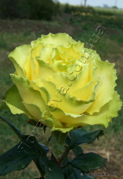 Фото чайно-гибридной розы сорта Лимбо Limbo
