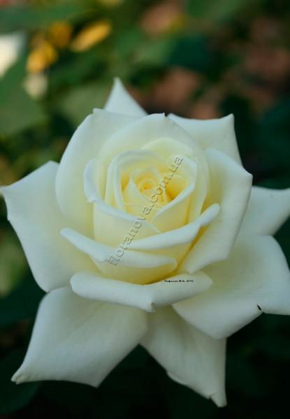 Фото чайно-гибридной розы сорта Полар Стар Polar Star