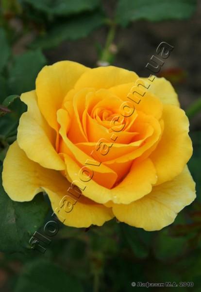 Фото розы Sphinx. Сфинкс