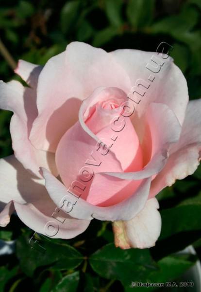 фото чайно-гибридной розы сорта Титаник Titanic
