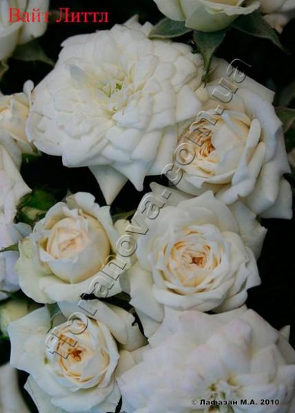 Фото розы Литтл Вайт. Little White . Honeymilk (Tan98145)
