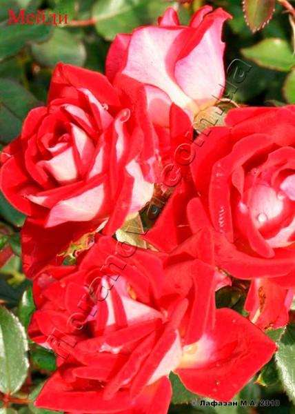 фото миниатюрной розы сорта Мейди, Maidy