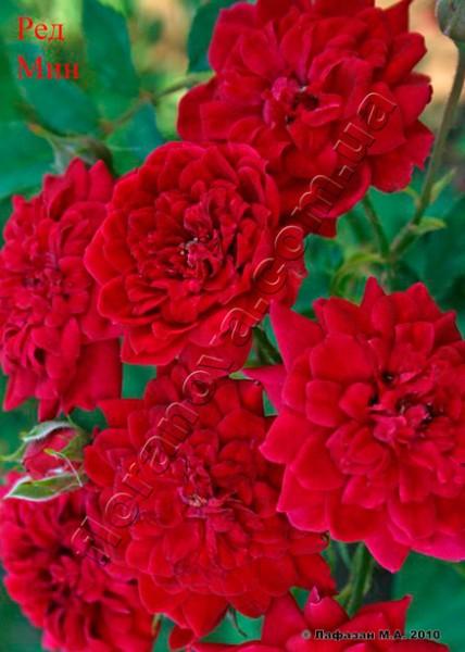 фото миниатюрной розы сорта Ред Мин, Red Min