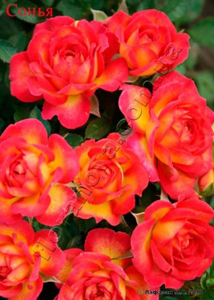 фото миниатюрной розы сорта Сонья Sonja