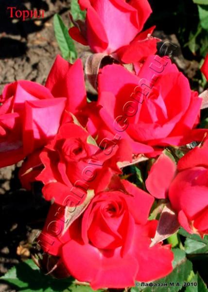 фото миниатюрной розы сорта Торил, Toril