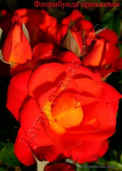 фото розы сорта Orange Parade. Парад Оранж