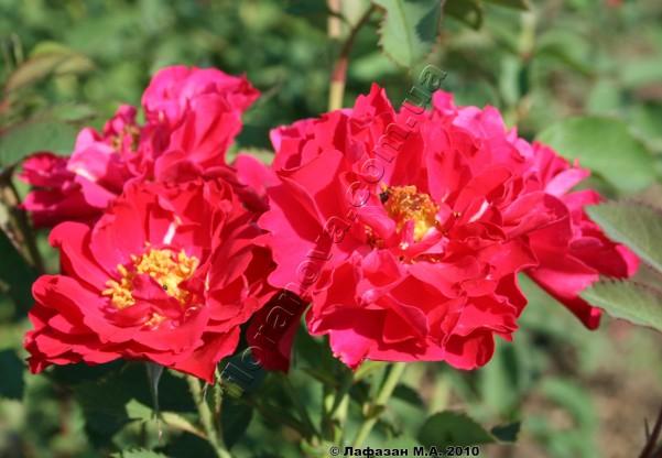 фото розы John Franklin Джон Франклин