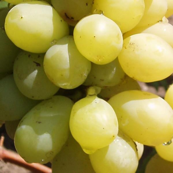 Виноград сорта Новое Столетие ЗГТУ