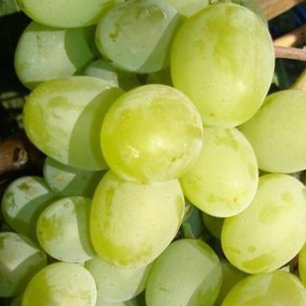 Сорт винограда Подарок Запорожью - fo 38