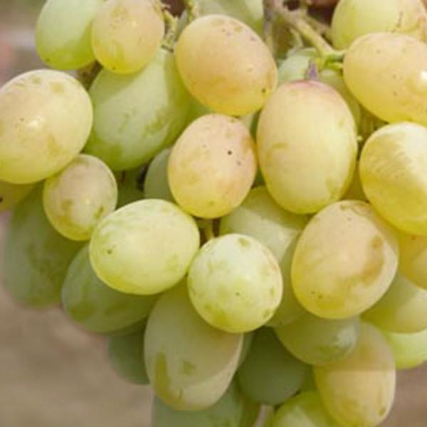 Виноград Светлый