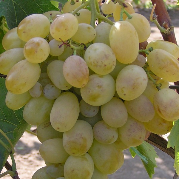 Сорт винограда Подарок Запорожью - fo 73