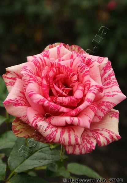 Роза  Пинк Интуишин Pink Intuition.
