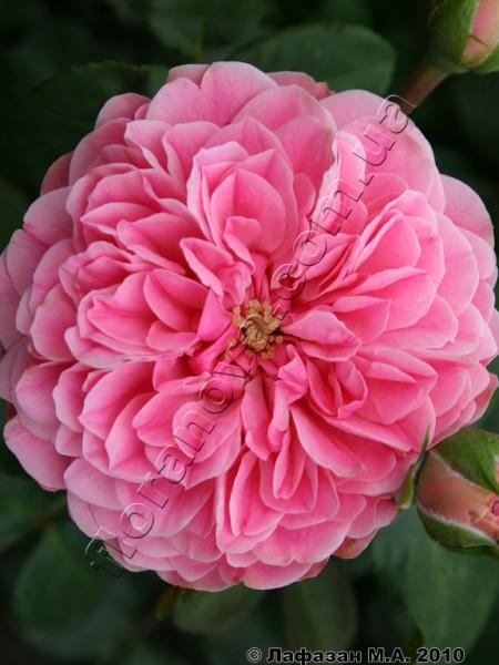 Фото розы сорта Leonardo da Vinci.Леонардо Да Винчи