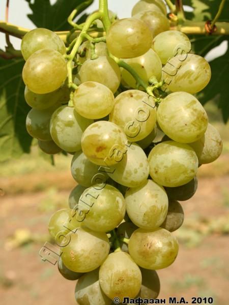 Фото винограда Белое Чудо
