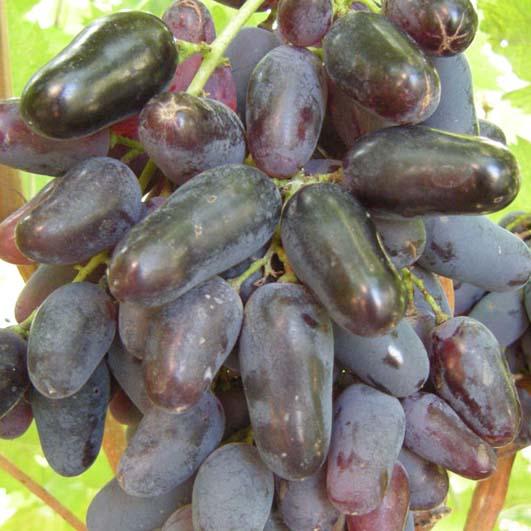 фото столового сорта винограда Памяти Негруля