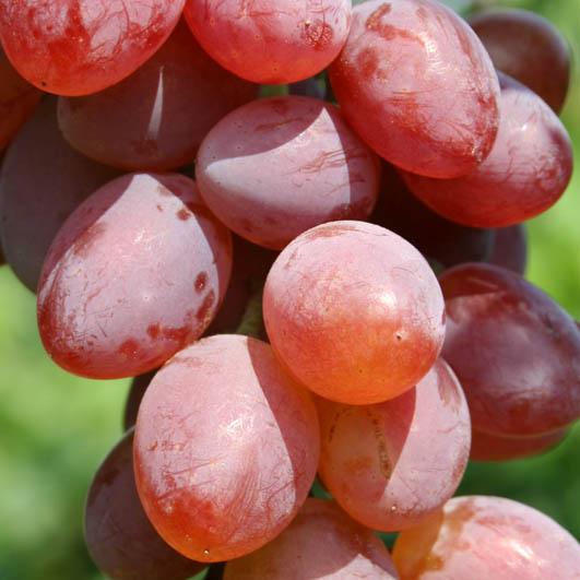 Фото винограда сорта Виктория