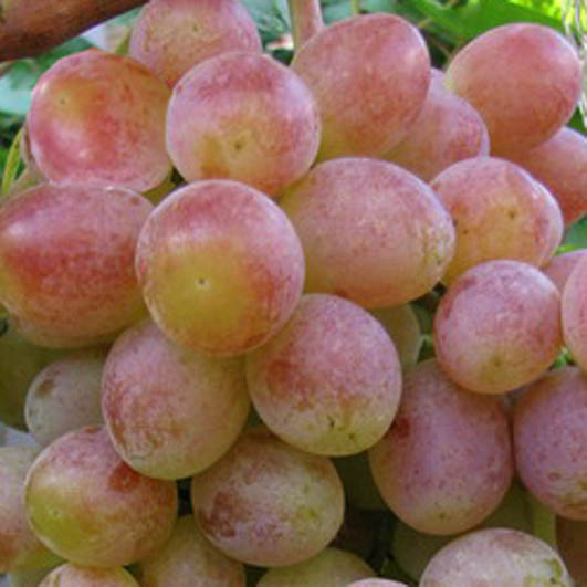 фото столового винограда сорта Памяти Хирурга