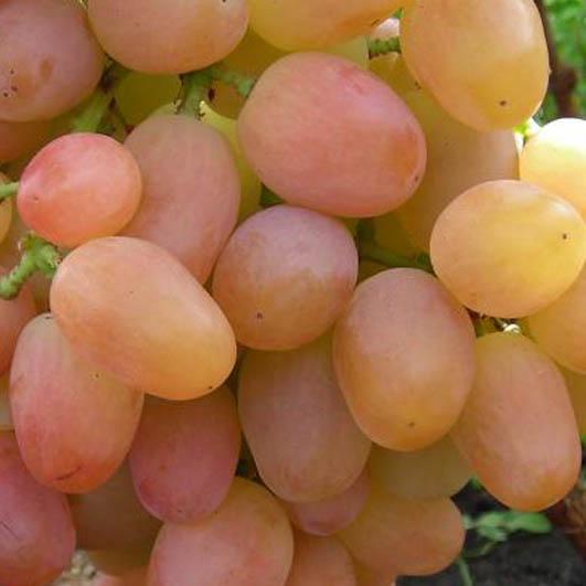 фото столового сорта винограда Ливия