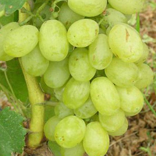 фото столового сорта винограда Вива Айка