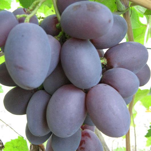Фото винограда сорта Атаман