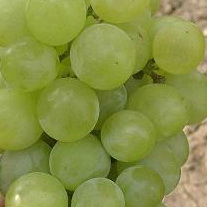 фото столового сорта винограда Иванна