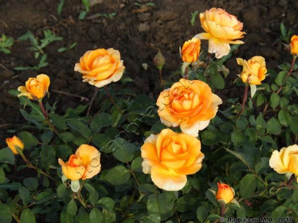 Роза луи де фюнес фото и описание