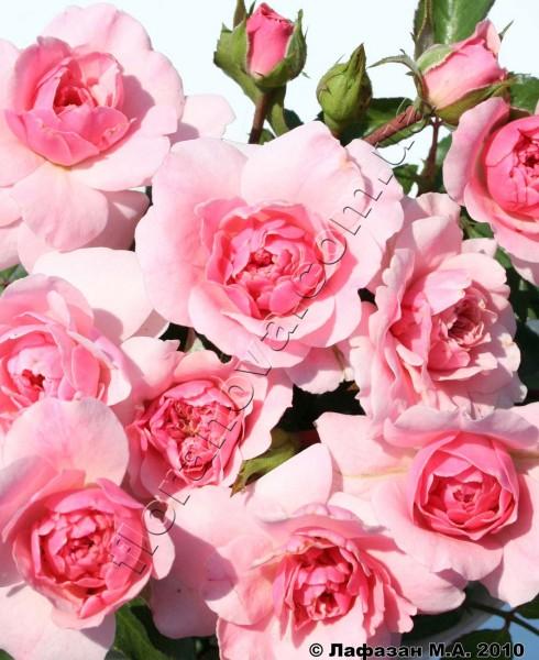 Фото розы Royal Bonica. Роял Боника