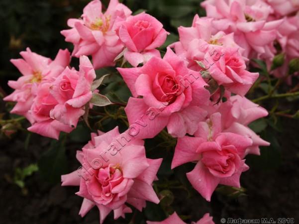 Фото розы Palmengarten Frankfurt Пальменгартен Франкфурт