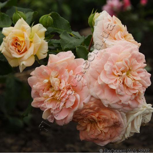 Фото розы Concerto 94. Концерто 94