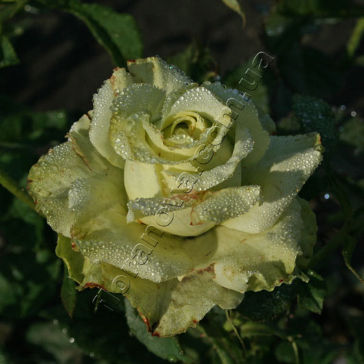 фото розы Super Green. Супер Грин