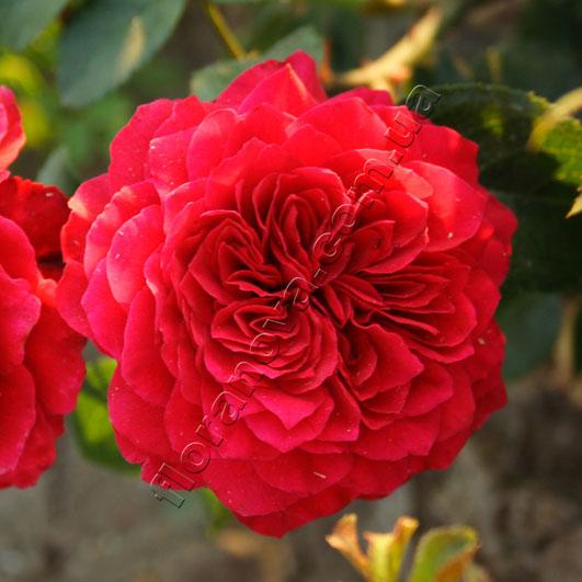 Роза red-leonardo da vinci