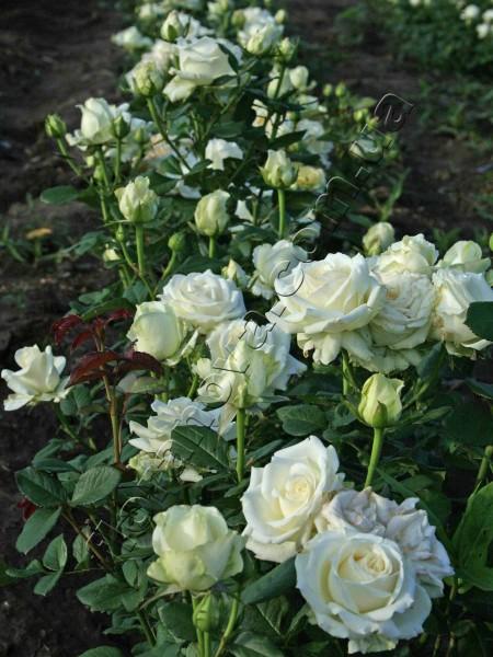 роза анастасия фото и описание