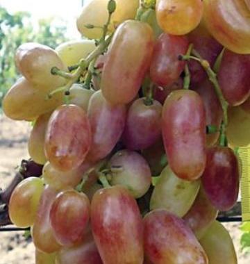 фото столового сорта винограда Преображение