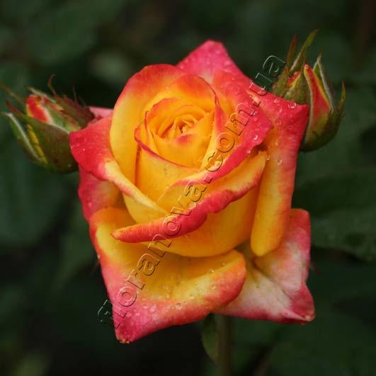 Фото розы Tresor 2000. Тризор 2000