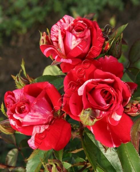 Фото розы Tocade. Токад