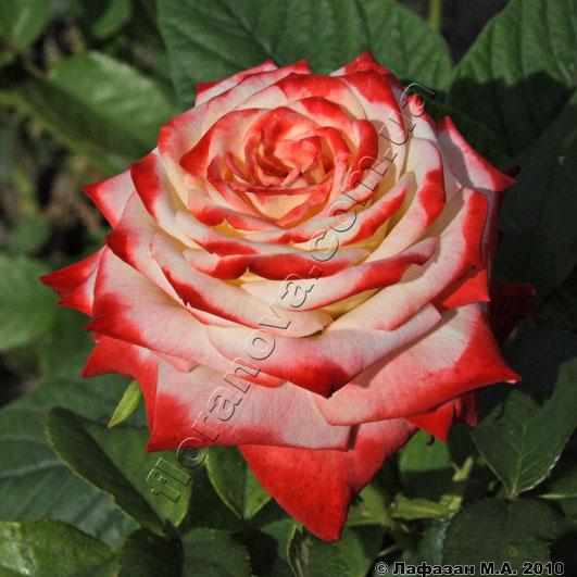 фото чайно-гибридной розы сорта Императрица Фарах,  Imperatrice Fara