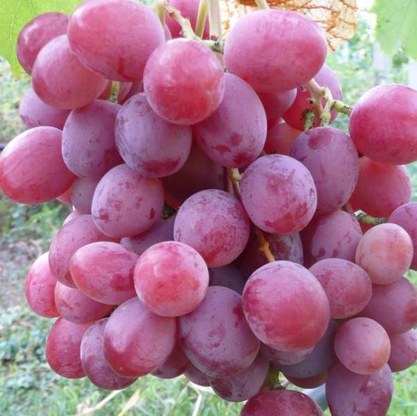 Фото винограда сорта Анюта