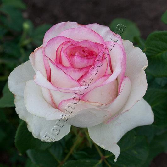 фото розы Bella Vita. Белла Вита