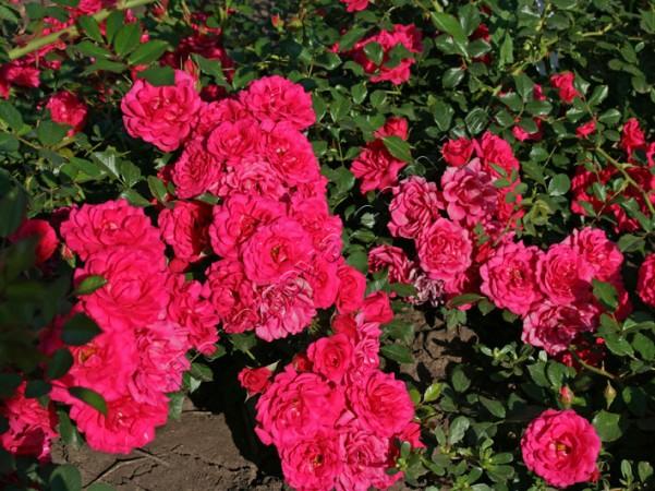 фото розы Mirato Мирато