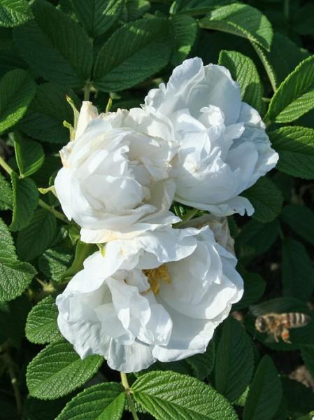 Фото розы Schnee-Eule. Шнее-Ойле