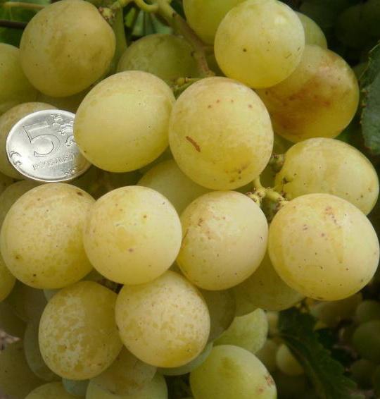 Фото винограда Антоний великий.