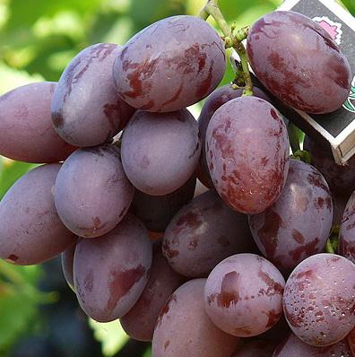 Фото винограда Фавор.