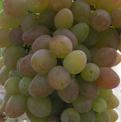 Фото винограда Реа.