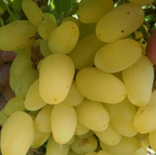Фото винограда Зарница.