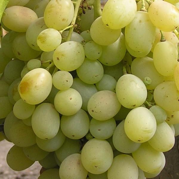 Виноград Аку-Аку