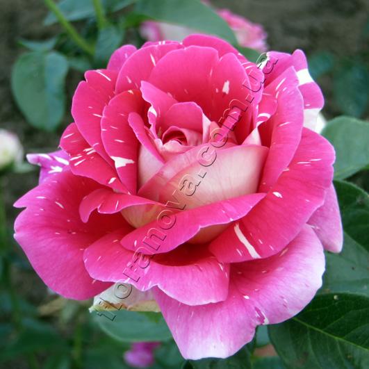 фото сорт розы Pestraja Fantazija. Пестрая Фантазия