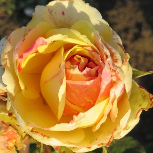 фото сорт розы Fiesta. Фиеста